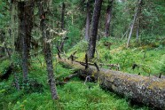 """Prawdziwie """"syberyjska"""" tajga ciemna rośnie w rejonach z obfitymi opadami deszczu – pokrywa duże obszary wybrzeży Bajkału."""