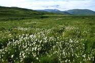 Krótkie polarne lato – soczysta zieleń traw i owocujące wełnianki.