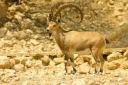 Ibix (koza górska) - Jedna z atrakcji Ein Gedi